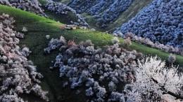 伊犁漫山遍野野杏花盛開